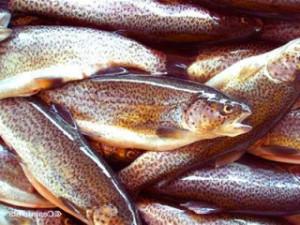 радужная форель, рыба, морепродукты, доставка товаров для суши в Казани, купить товары для суши, купить морепродукты